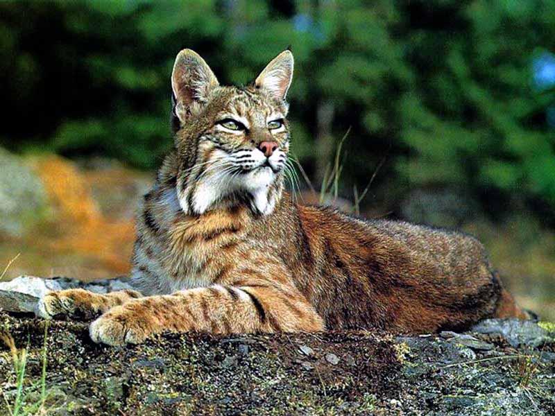 Lynx dans Autres felins ejby77bw